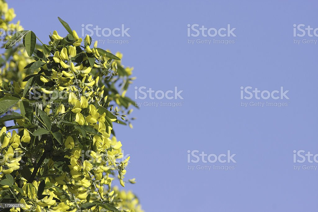 Beautiful but poisonous yellow laburnum flowers copy space royalty-free stock photo