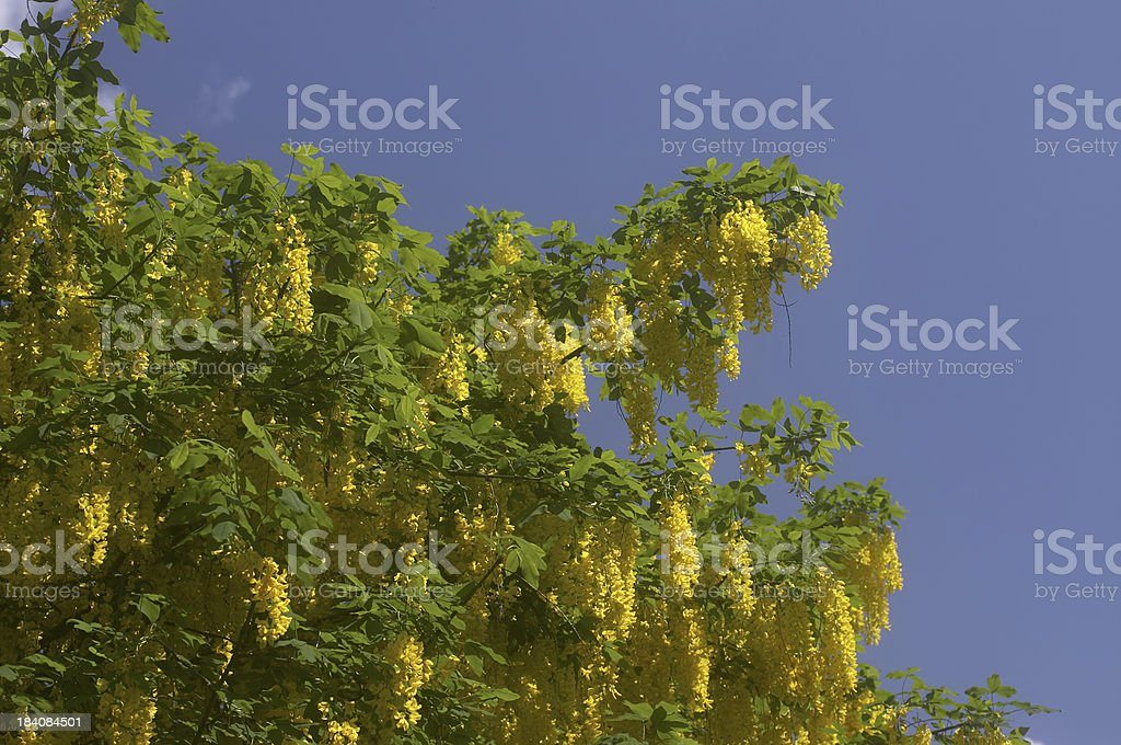 Beautiful but poisonous yellow laburnum in bloom royalty-free stock photo