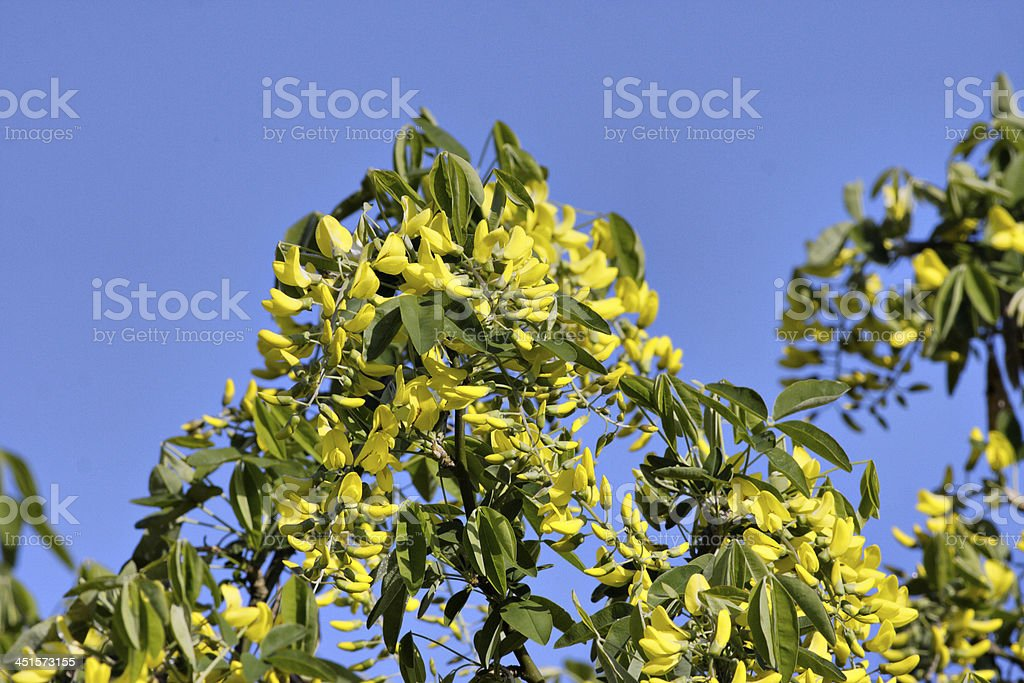 Beautiful But Poisonous Yellow Laburnum Flowers Stock Photo More
