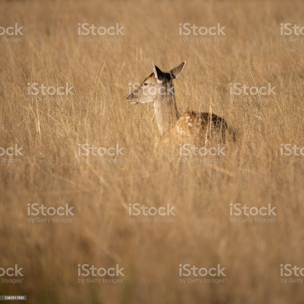 Lovely image of Fallow Deer Dama Dama in Autumn field and woodland landscape setting stock photo