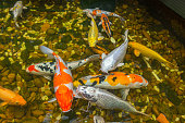 Beautiful Koi fish swimming in the pond at Japanese garden