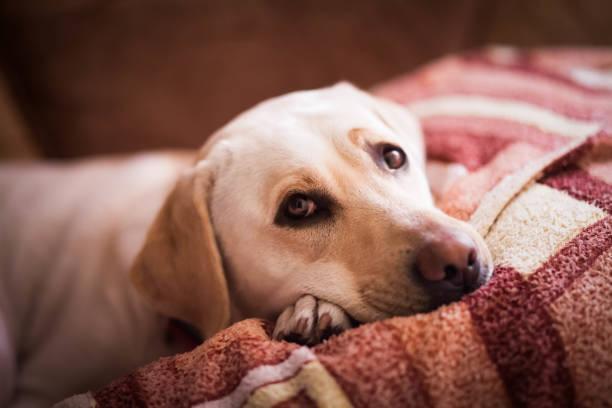 yatakta yatan güzel bir lablador. kanepede dinlenmek sevimli tür köpek - yatmak stok fotoğraflar ve resimler