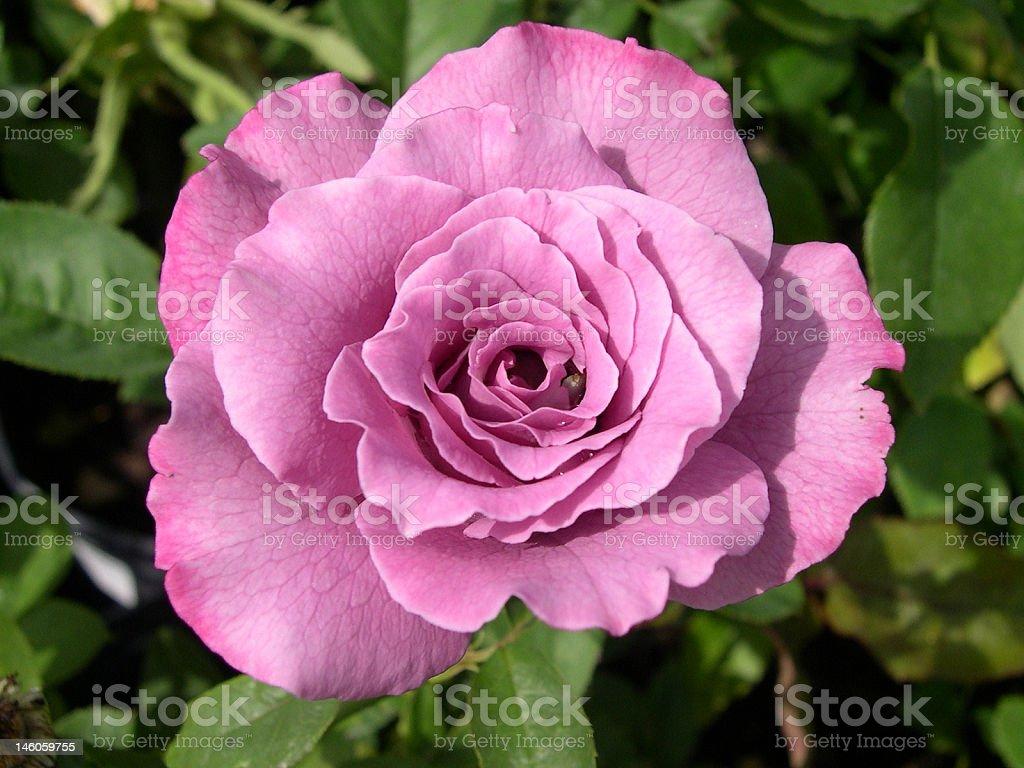 Lovely Lavender Rose Flower royalty-free stock photo