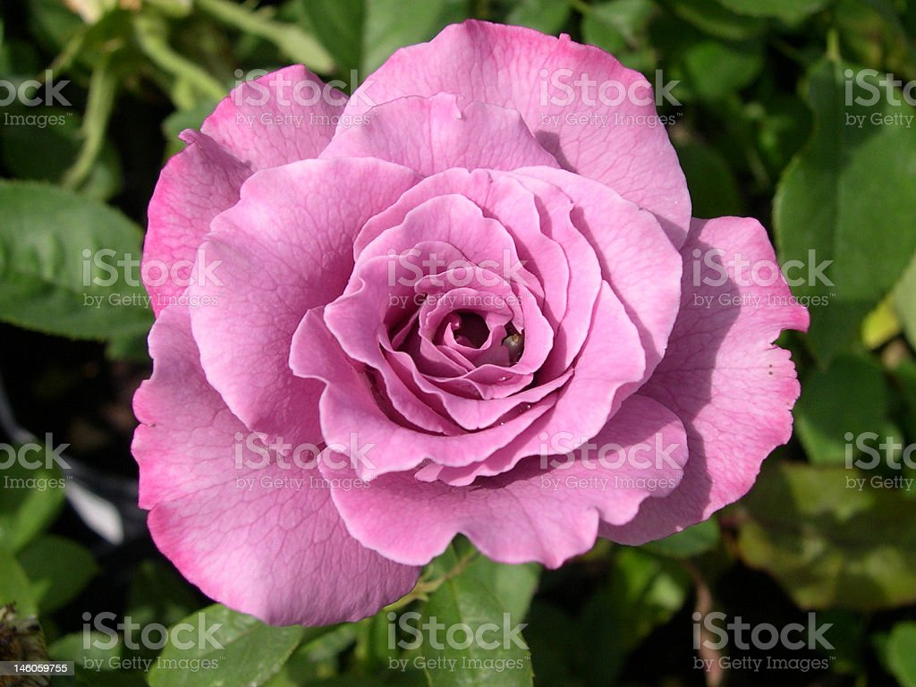 Lovely Lavender Rose Flower stock photo