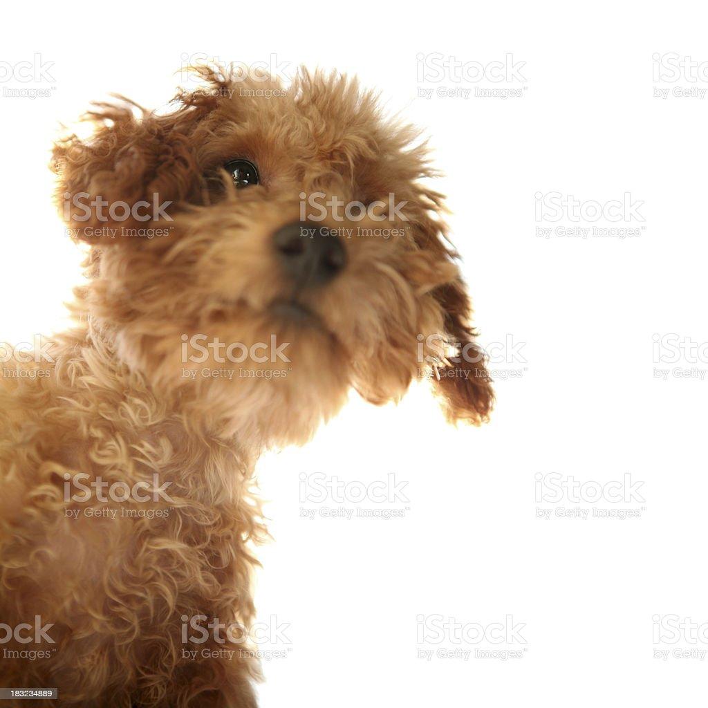 Lovely Little Teddy Bear Dog - XXXLarge royalty-free stock photo