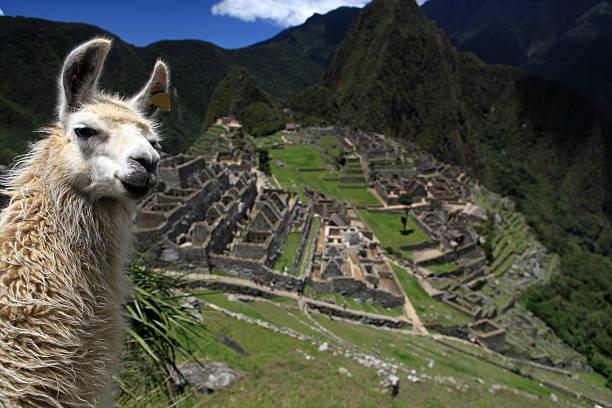 schöne lama und machu picchu - lama kamelartige stock-fotos und bilder