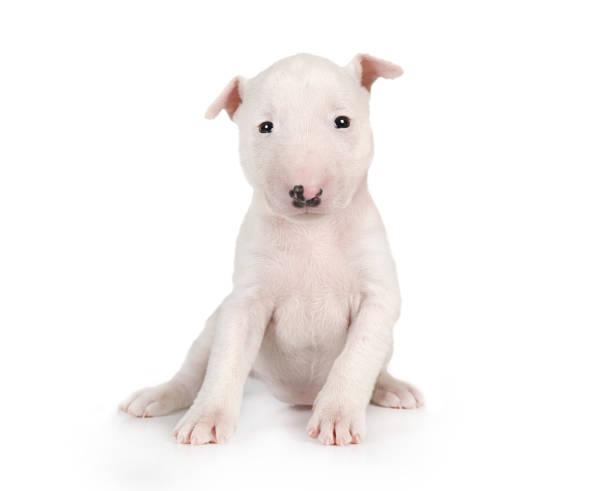 Precioso cachorro DeBull Terrier miniatura sentado sobre un fondo blanco - foto de stock