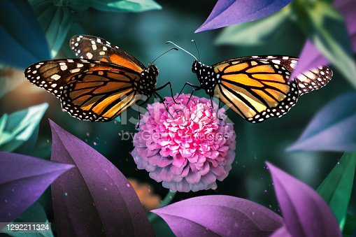 Lovely monarch butterflies on pink flowers in a fairy garden. Summer spring background.