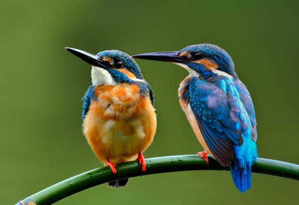 A lovely pair of Common kingfisher (Alcedo atthis) a beautiful blue bird perching on the branch together, fascinated nature A lovely pair of Common kingfisher (Alcedo atthis) a beautiful blue bird perching on the branch together, fascinated nature kingfisher stock pictures, royalty-free photos & images