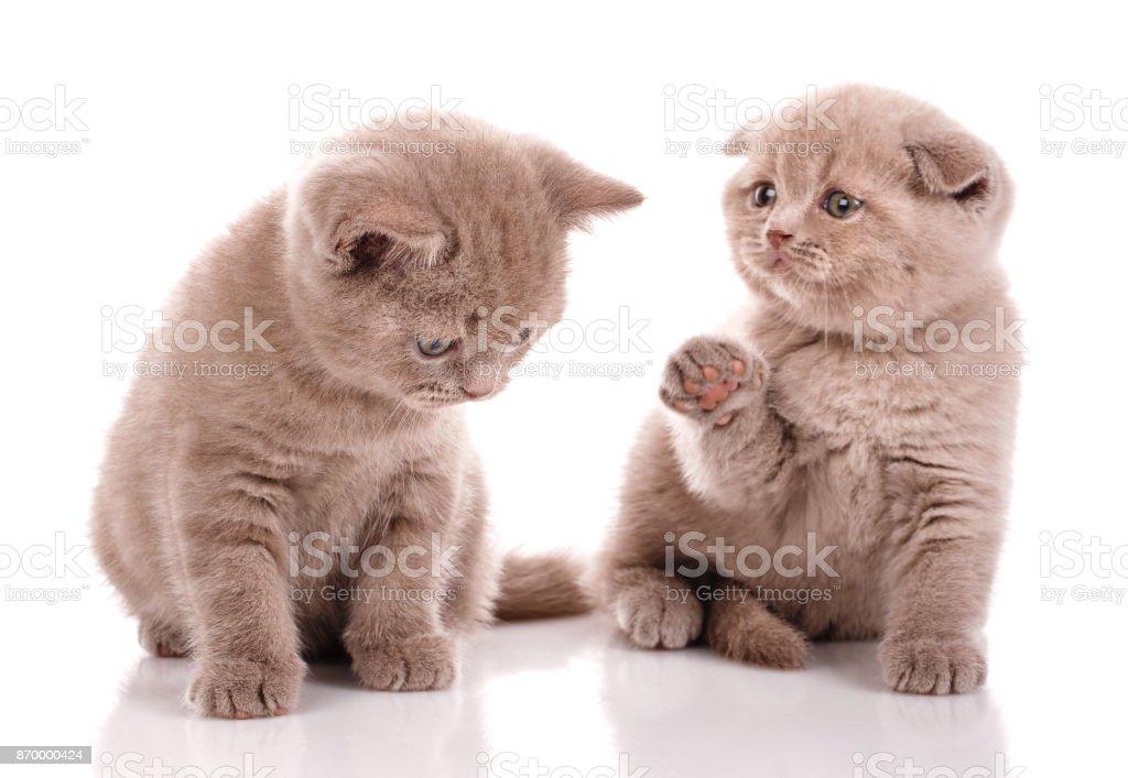 Lovely Pair Of Scottish Kittens On A White Background Stock Photo