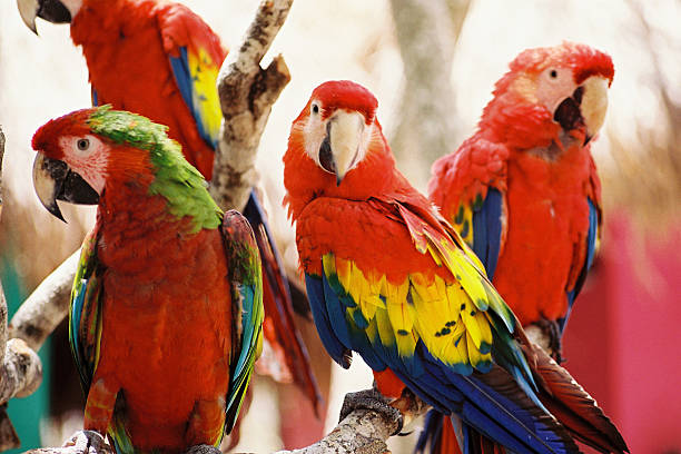 lovely parrots - green winged macaw stock photos and pictures