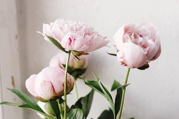 adorável peônia rosa e branca flores sobre fundo de parede, doce lar, rústica - foto de acervo