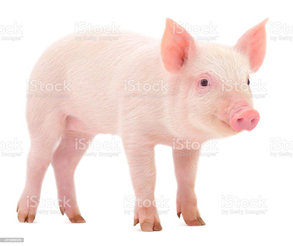 Lovely piglet isolated on white background stock photo