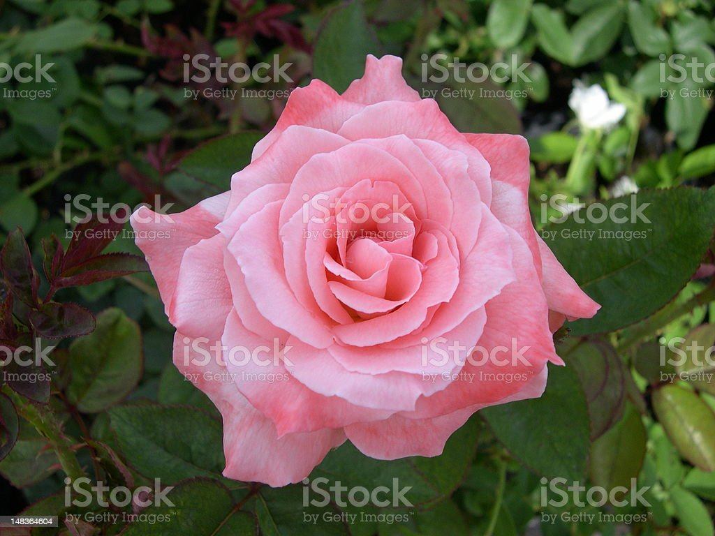 Lovely Pink Rose Flower stock photo