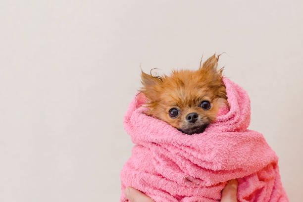 schöne pommersche Hund in einem rosa Handtuch nach dem Bad, Pflege, Kopierplatz – Foto