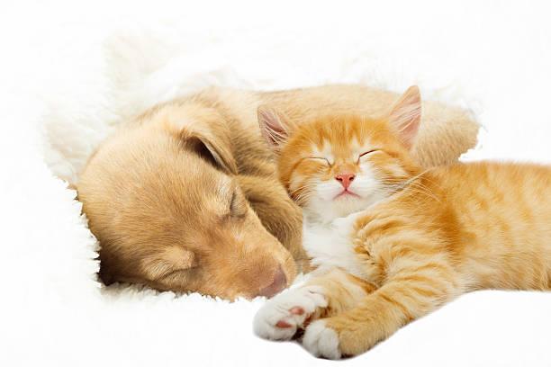 Lovely puppy and ginger kitten sleeping on a white bedspread picture id609689924?b=1&k=6&m=609689924&s=612x612&w=0&h=tyaherojinvnbvhlucnrsl rqikcqcb5smteqr  6vg=
