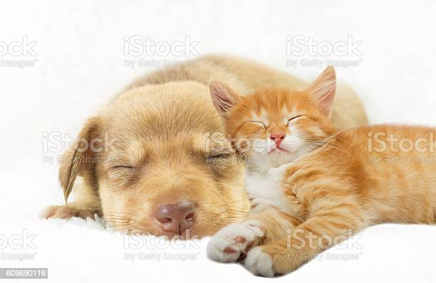 Lovely puppy and ginger kitten sleeping on a white bedspread picture id609690116?b=1&k=6&m=609690116&s=612x612&h=zsqcrc1lwcvj2zeah hpa53pg6rj6r2oi7bduwtepdk=