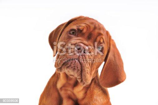 istock Lovely Puppy Portrait 92359506