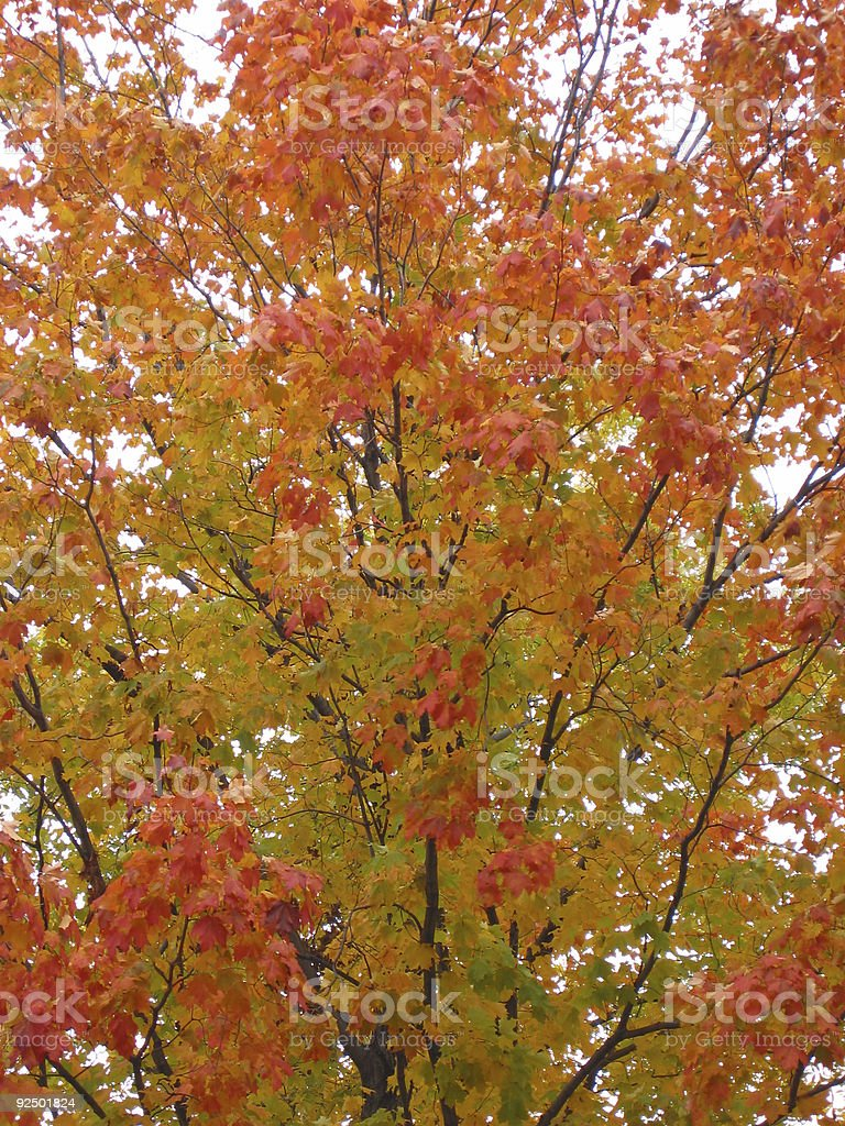 lovely red orange maple 2 royalty-free stock photo