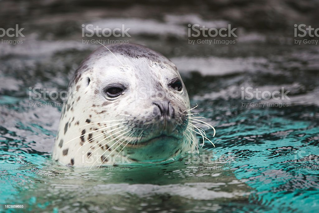 lovely seal stock photo