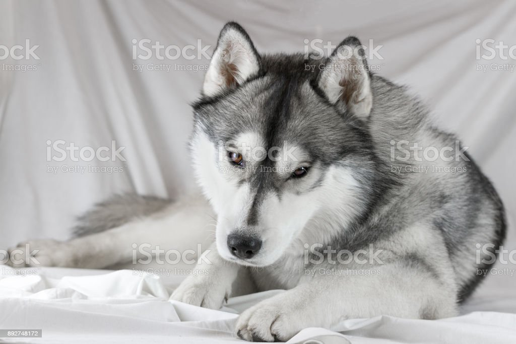 Lovely Siberian Husky Dog With Black And White Color With Brown Eyes