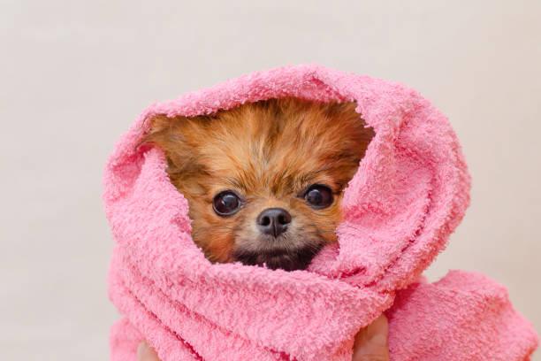 Schöne kleine Pommersche Hund in einem rosa Handtuch nach dem Bad, Pflege – Foto