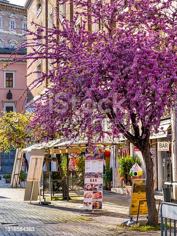 Rome, Italy, March 30 -- A Cercis siliquastrum, commonly known as the Judas tree, with its deep pink flowers, in a lovely square in Borgo Pio, near St. Peter's Basilica. Borgo Pio it's a lovely little quarter near the Vatican City and one of the most frequented places by the millions of tourists who visit Rome every year. Image in high definition format. Image in High Definition Format.