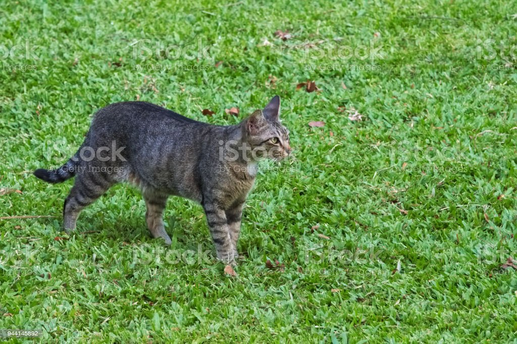 Lovely, stray, homeless, grey, black and white cat, standing proudly in the grass, enjoying the sun in a lush Thai park. stock photo