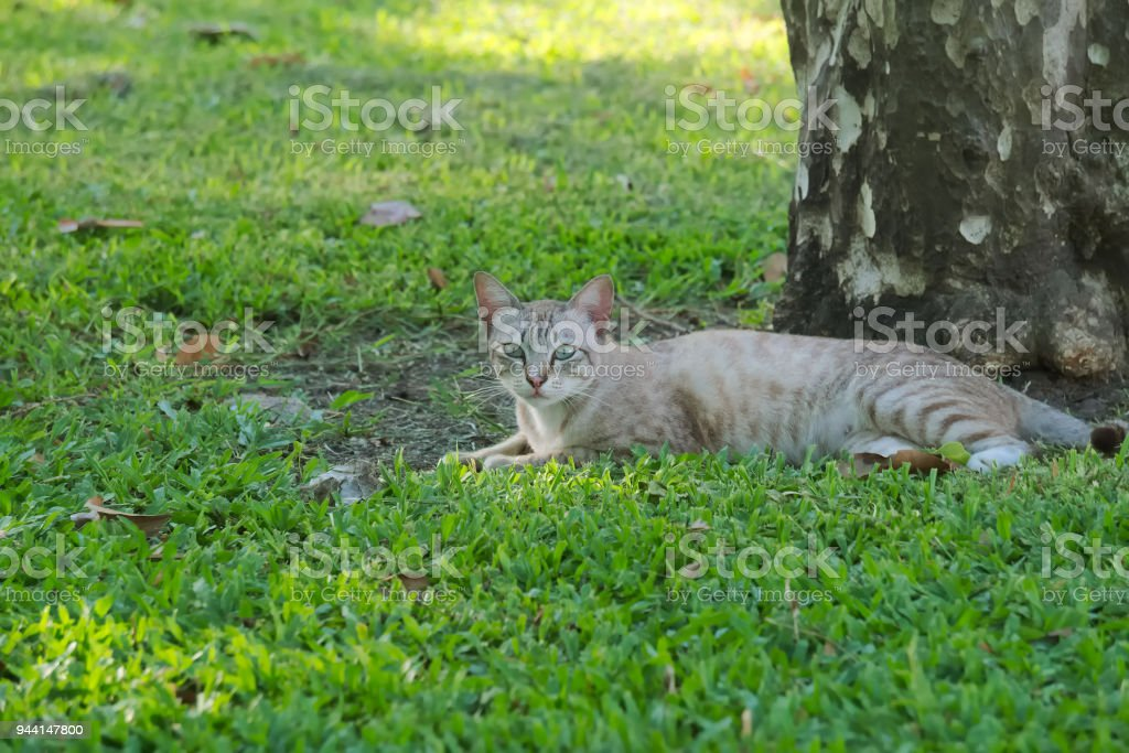 Lovely, stray, homeless, grey, white and striped tan cat, lounging in the nice grass, enjoying the tree shade in a lush Thai park. stock photo