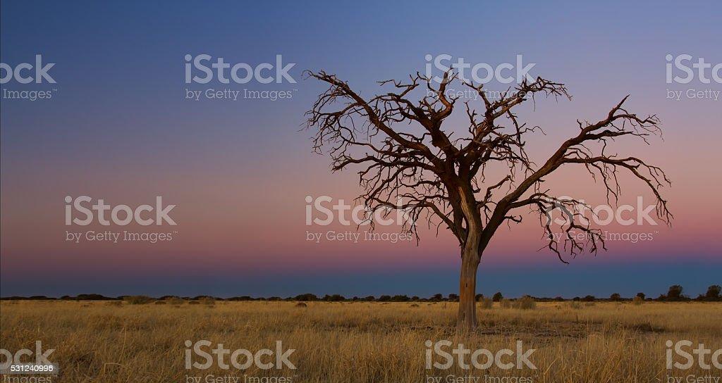 Lovely sunset in Kalahari with dead tree - foto de acervo