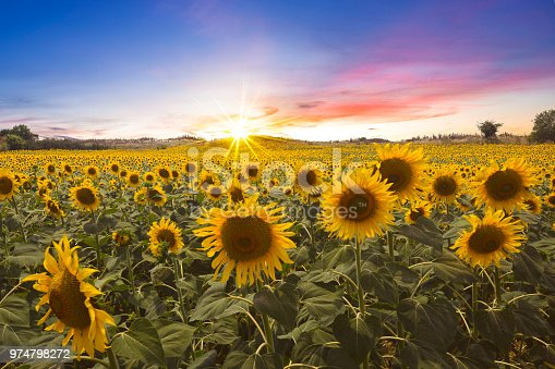 A lovely sunset photo over the sunflower field