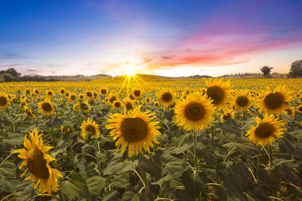 Lovely Sunset over Sunflower Field A lovely sunset photo over the sunflower field flower part stock pictures, royalty-free photos & images