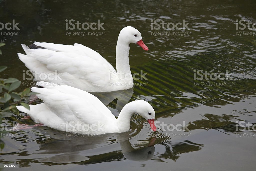 Lovely swan couple royalty-free stock photo