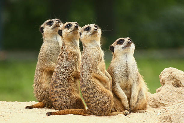 lovely team of meerkats - meerkat stock photos and pictures