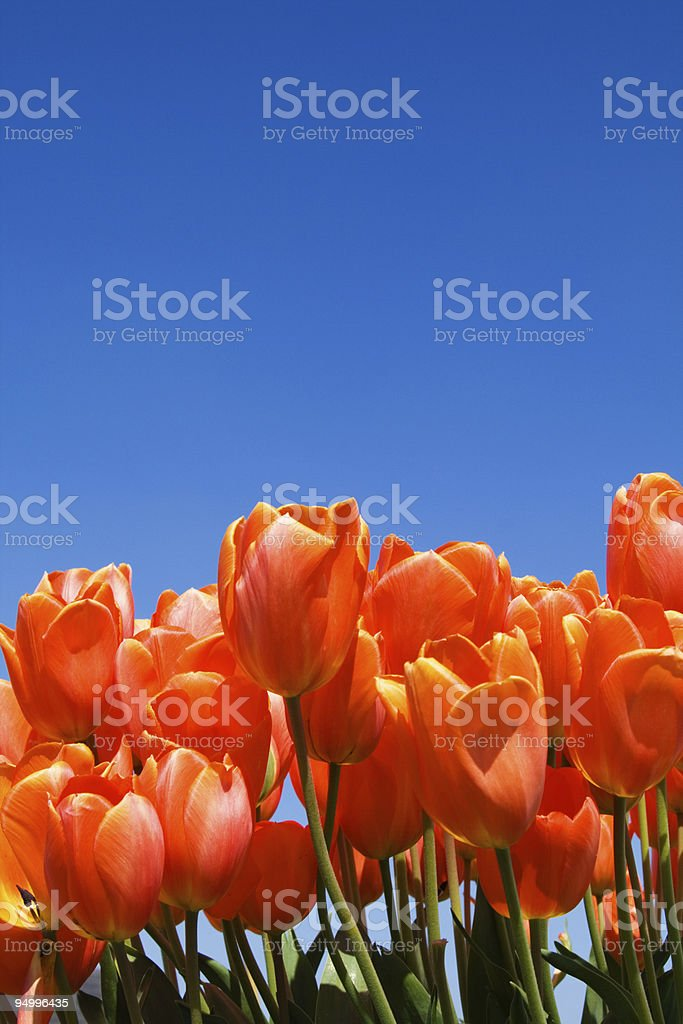 Lovely Tulips and Sky royalty-free stock photo
