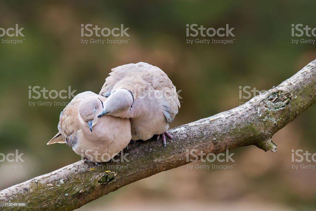 Lovely turtledove. Love birds on the tree. Kiss of birds.
