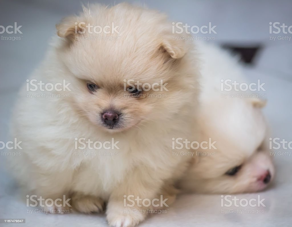 Lovely Twin Pomeranian Puppies Stock Photo Download Image Now Istock
