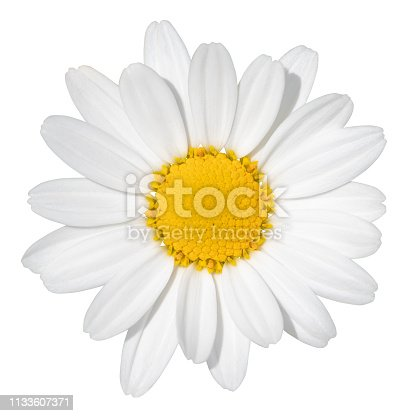 Lovely white Daisy (Marguerite) isolated on white background, including clipping path. Germany.