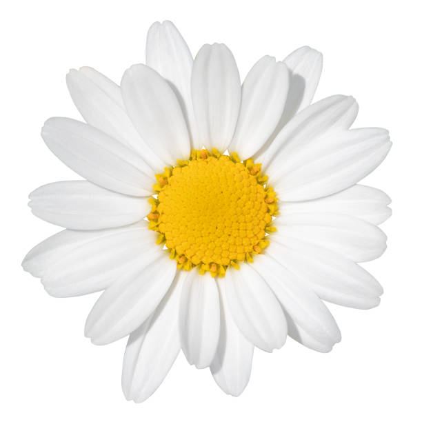 lovely white daisy (marguerite) isolated on white background, including clipping path. - flower white background imagens e fotografias de stock