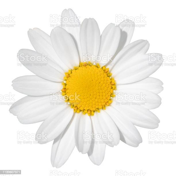 Photo of Lovely white Daisy (Marguerite) isolated on white background, including clipping path.