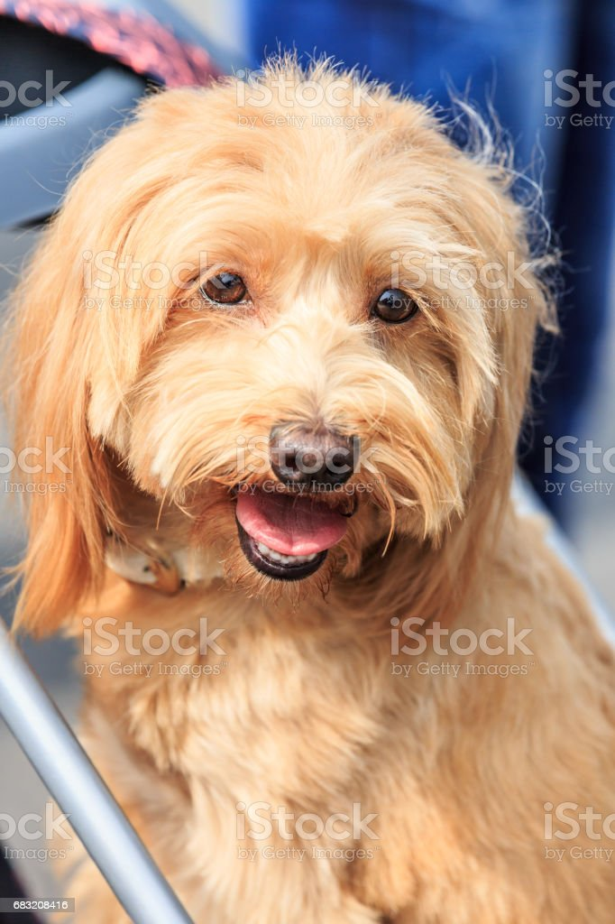 lovely yellow small dog in outdoors royalty-free stock photo