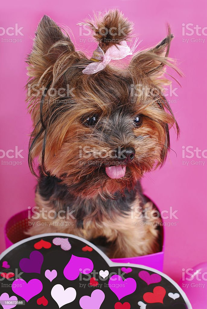 lovely yorkshire dog in heart shape box royalty-free stock photo