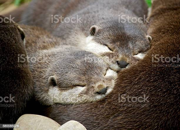 Lovely young otter family sleeping together in uk picture id585585076?b=1&k=6&m=585585076&s=612x612&h=akt3ycnz5ojaus dgoxa1pnivjml6mz7kj3apf9q2vk=