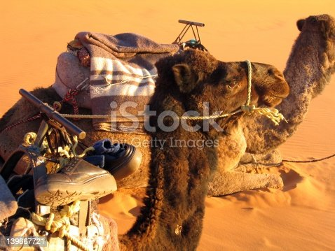 istock Lover camels 139667721