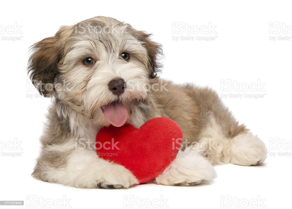 Lover Valentine chocolate Havanese puppy royalty-free stock photo
