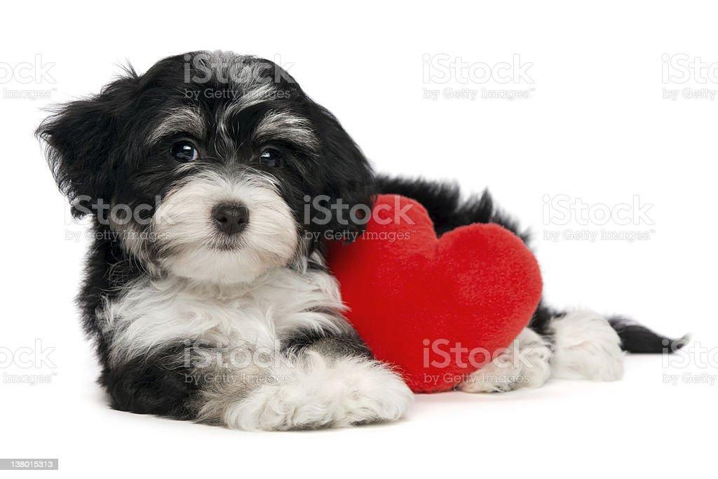 Lover Valentine Havanese puppy dog royalty-free stock photo