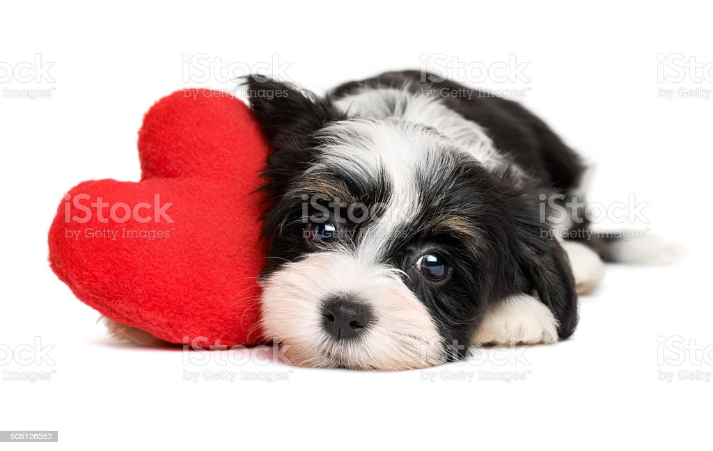 Lover Valentine Havanese puppy dog with a red heart stock photo