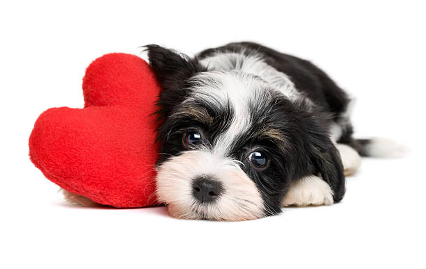 Lover Valentine Havanese puppy dog with a red heart Cute black and white lover Valentine havanese puppy dog with a red heart - isolated on white background animal valentine stock pictures, royalty-free photos & images
