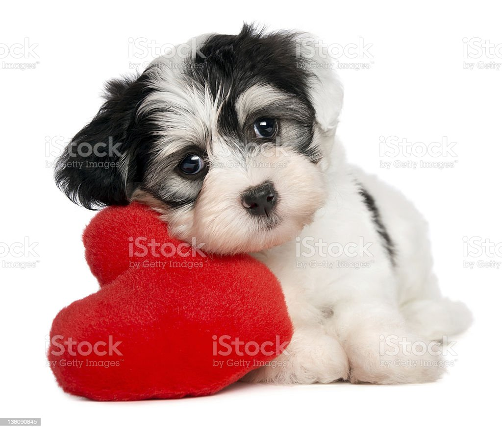 Lover Valentine Havanese puppy stock photo