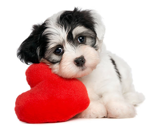 Lover Valentine Havanese puppy A cute lover valentine havanese puppy dog with a red heart isolated on white background animal valentine stock pictures, royalty-free photos & images